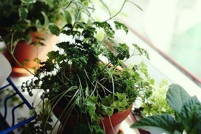 window-herbs-2-400w